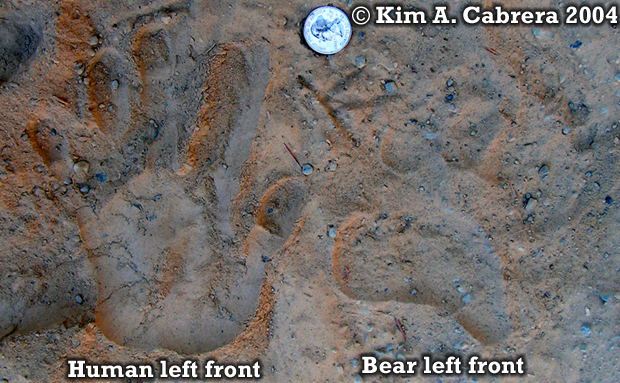 Black bear front track comparison with                           human hand print. Photo copyright by Kim A.                           Cabrera 2004.