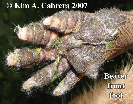 Beaver front foot. Photo copyright Kim A.                       Cabrera 2007. Thanks to Wild Things!
