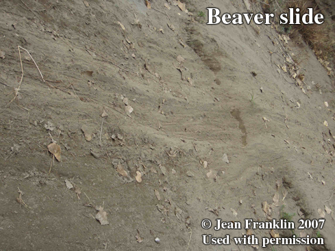 Beaver trail. Photo copyright by Jean Franklin, 2007.