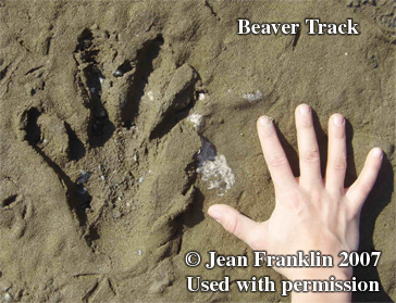 Beaver track. Photo copyright by Jean                       Franklin, 2007.