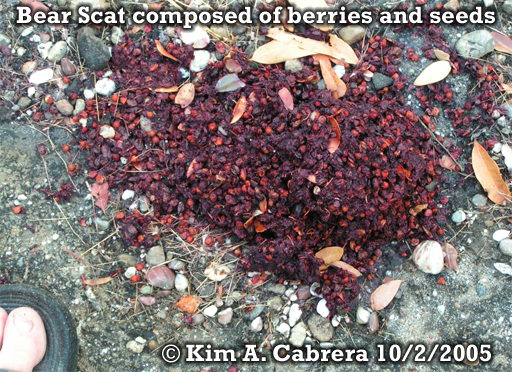 Black bear scat composed of seeds and                           berries. Photo copyright by Kim A. Cabrera                           2005.