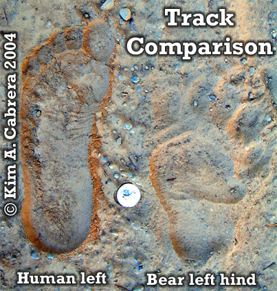 Black bear track comparison with human                           foot print. Photo copyright by Kim A. Cabrera                           2004.
