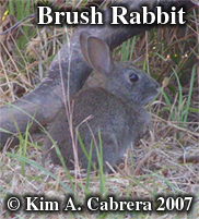 young brush rabbit. Photo copyright by Kim A. Cabrera 2007.