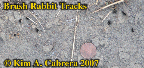 Brush                     rabbit tracks indicated by claw marks only. Photo ©                     Kim A. Cabrera 2007