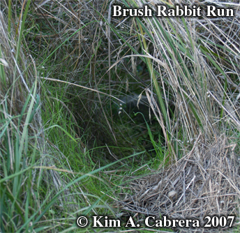 Brush                     rabbit run. Photo copyright Kim A. Cabrera.