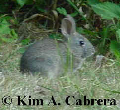 Brush rabbit                     feeding in grass near cover. Photo by Kim A. Cabrera                     2002.