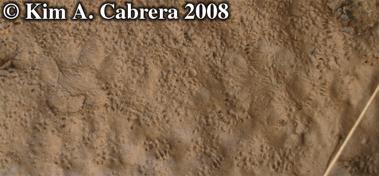 Cat and mouse tracks. Photo copyright by Kim A. Cabrera 2008.