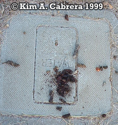 Latrine used by gray fox and raccoon. Photo                     copyright by Kim A. Cabrera 1999.