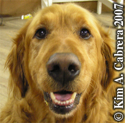 Domestic dog - golden retriever. Photo copyright by Kim A. Cabrera 2007.
