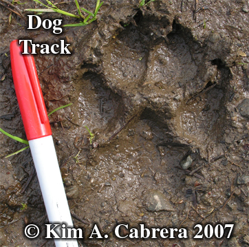 Dog track in soft mud. Photo copyright by Kim A. Cabrera 2007.