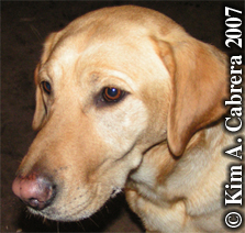 Domestic dog - yellow lab. Photo copyright by Kim A. Cabrera 2007.