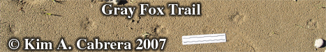 Gray fox trail in sand after a rain. Photo                     copyright by Kim A. Cabrera 2007.