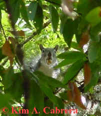 Gray squirrel in tree. Photo by Kim A. Cabrera 2002.