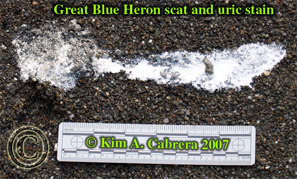 Great blue heron scat and uric stain. Photo by Kim A. Cabrera 2007.