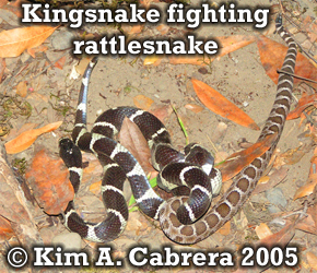Kingsnake fighting rattlesnake. Photo                       copyright by Kim A. Cabrera 2005.