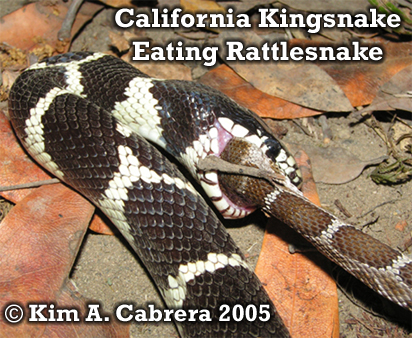Kingsnake gaining control of rattlesnake                       head. Photo copyright by Kim A. Cabrera 2005.