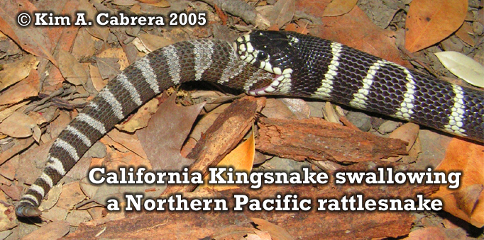 Kingsnake swallowing rattlesnake. Photo                       copyright by Kim A. Cabrera 2005.