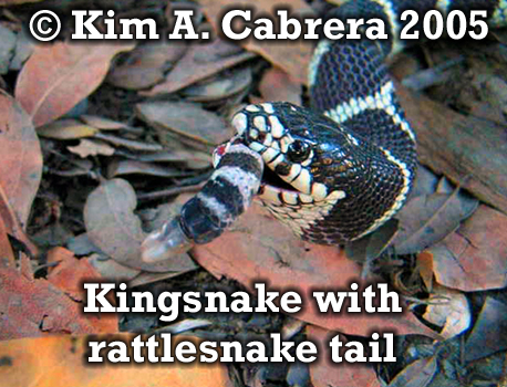 Kingsnake swallowing rattlesnake - the last                       little bit. Photo copyright by Kim A. Cabrera                       2005.