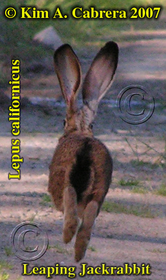 Blacktailed jackrabbit leaping. Photo by Kim A. Cabrera. 2007