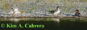 merganser dance