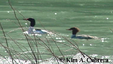 common                             mergansers photo by Kim A. Cabrera