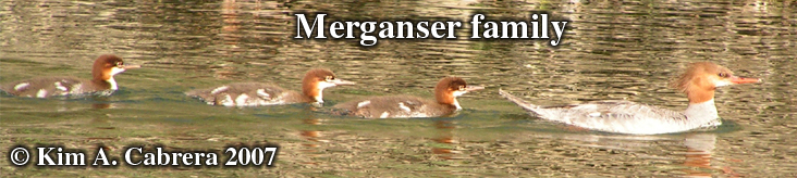 Three baby mergansers follow their                             mother in the Eel River. Photo copyright by                             Kim A. Cabrera. 2007.