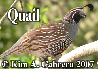 Male                     quail. Photo copyright by Kim A. Cabrera 2007.
