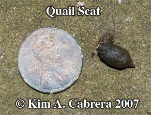 California valley quail scat. Photo copyright by Kim A. Cabrera 2007.
