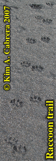 Raccoon                     trail in sand, showing perfect gait. Photo by Kim A.                     Cabrera 2007.