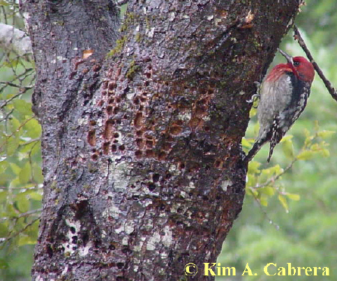 Red-breasted sapsucker wells on a tan oak tree. Photo by Kim A. Cabrera. March 2002.