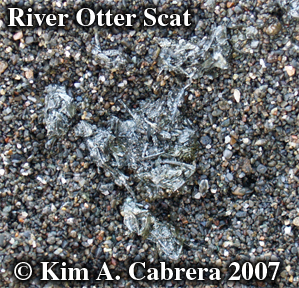 River                       otter scat. Photo © Kim A. Cabrera 2007.