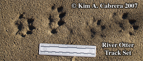 River otter track pattern. Photo copyright by                     Kim A. Cabrera.
