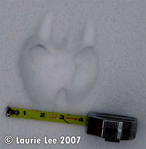 Squirrel track pattern in snow. Photo copyright by Laurie Lee 2007.