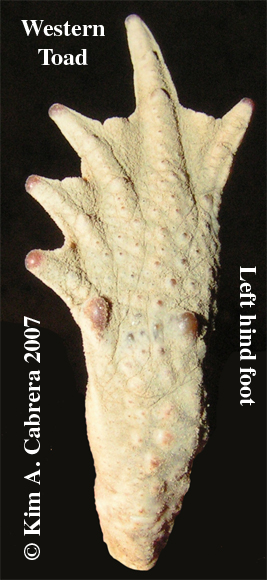 Toad                     foot. Photo copyright Kim A. Cabrera. 2007.