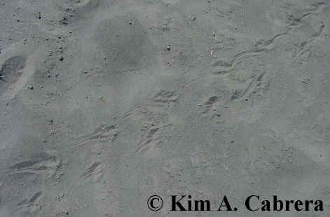 Toad trail in sand. Photo by Kim A. Cabrera                     2002.