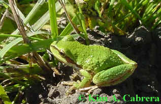 tree frog in grass. Photo by Kim A. Cabrera 2002.