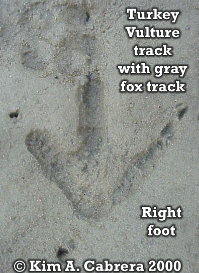 Turkey vulture track with gray fox track on                     top. Photo copyright by Kim A. Cabrera 2000.