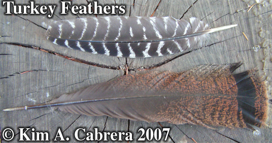 Two turkey feathers. Photo copyright by Kim A. Cabrera. 2007