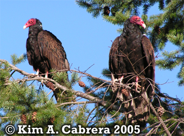 Two turkey vultures in a fir tree. Copyright                       Kim A. Cabrera 2005.