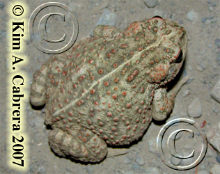 western toad                     photo by Kim Cabrera 2007.