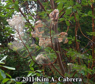 tent caterpillar tent on madrone tree