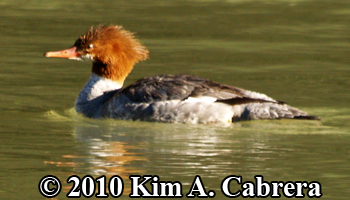 female merganser in Eel River