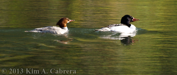 mating pair of mergansers