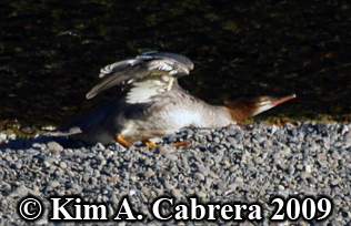 merganser                           stretching wings. Photo copyright Kim A.                           Cabrera 2009.