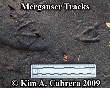 merganser tracks in sand. Photo copyright                           Kim A. Cabrera 2009.