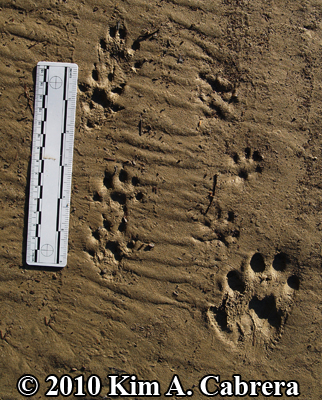 Two Mink trails and a single otter track. Photo copyright Kim A. Cabrera