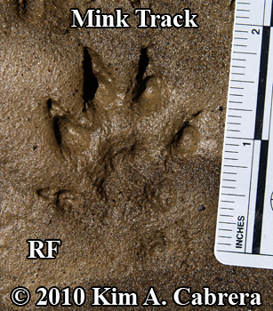 Mink track. Right front foot. Photo copyright Kim A. Cabrera