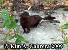 Mink spotted along the Eel River. Photo copyright Kim A. Cabrera