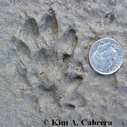 Mink tracks found along the Eel River near Redway, California.