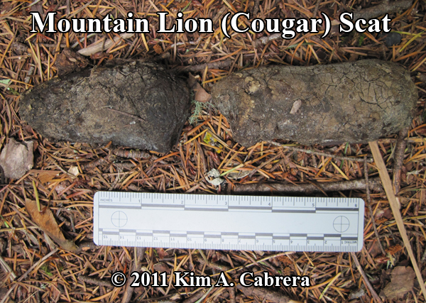 mountain lion, cougar, puma scat